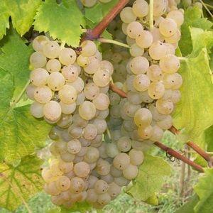 pignoletto vitigno