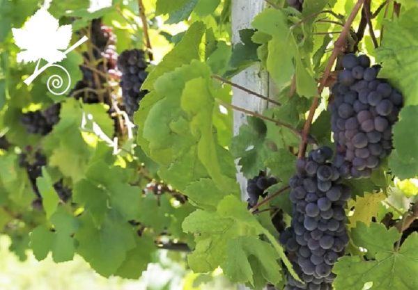 pinot grigio grappoli