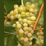 prie-blanc-vitigno