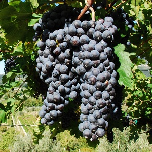 rondinella vitigno