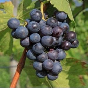 schiava vitigno