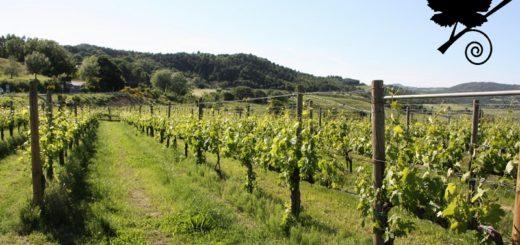 vino nobile di montepulciano vigneti