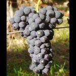 vuillermin vitigno