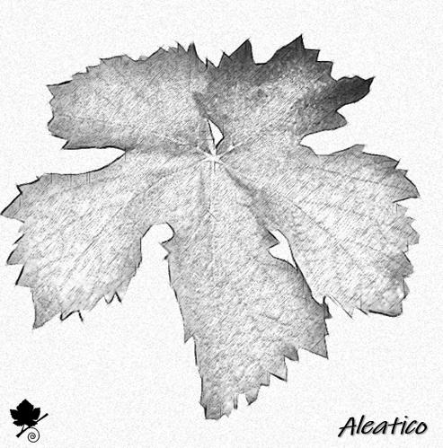 Aleatico - foglia
