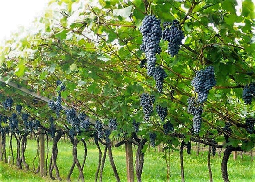 pergola doppia trentina foglie e grappoli