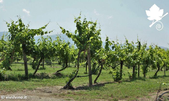 villa matilde - Vigna camarato - aglianico