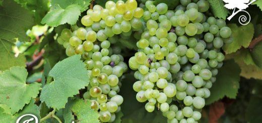 Pecorino - vitigno