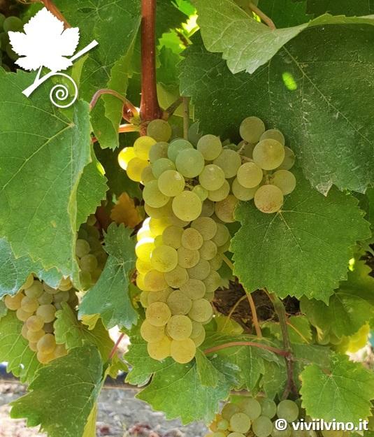 grechetto - vitigno