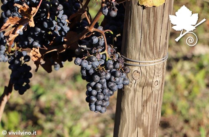 Cantina Podere sul Lago - grappoli di uva