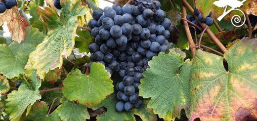 Lambrusco grasparossa - vitigno