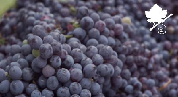 Magliocco dolce vitigno