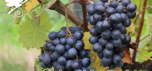 Refosco dal peduncolo rosso grappoli