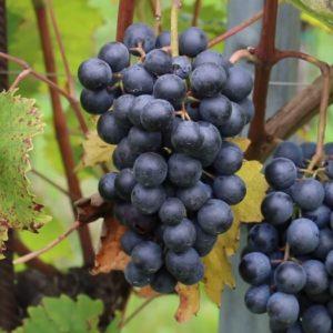 Refosco dal peduncolo rosso vitigno
