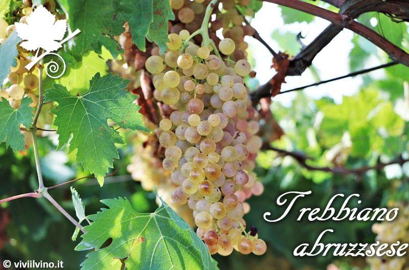Trebbiano abruzzese - vitigno