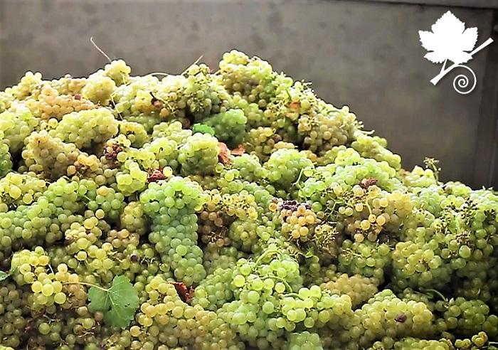 Chardonnay vendemmia 02