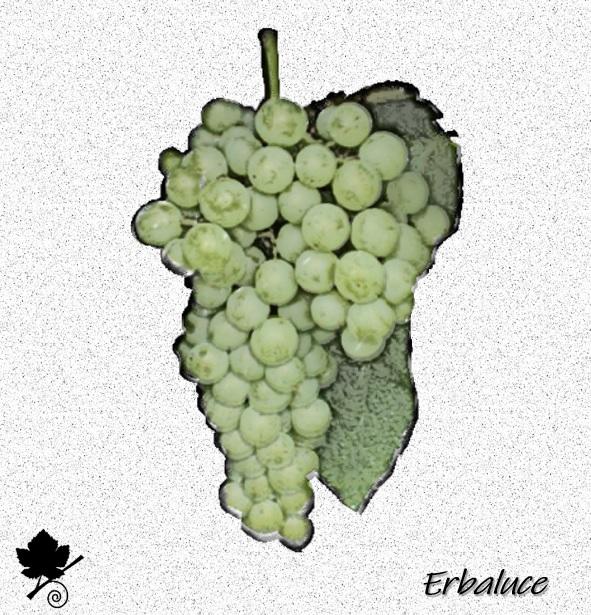 Erbaluce - vitigno