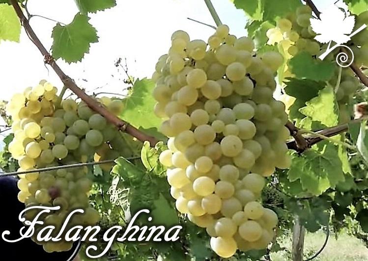 Falanghina grappoli