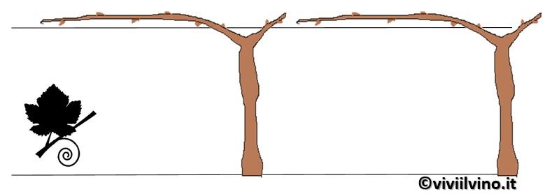 guyot su filare