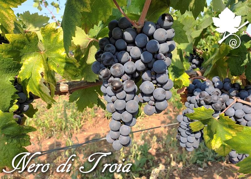 Nero di Troia (Uva di Troia) - vitigno