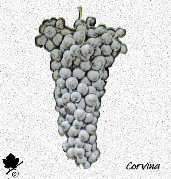 Corvina - vitigno