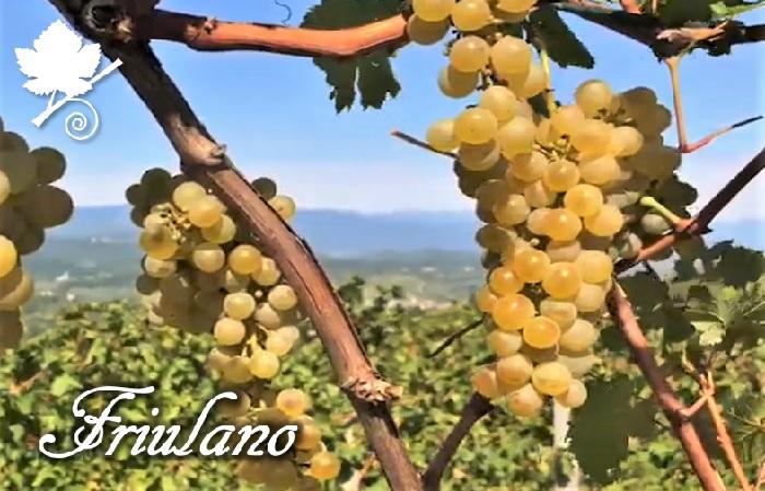 Friulano (Tocai) vitigno