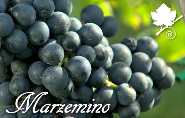 Marzemino - vitigno autoctono