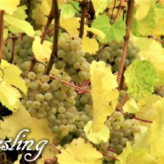 Riesling - vitigno