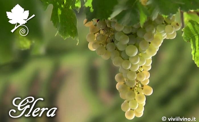 Glera - vitigno