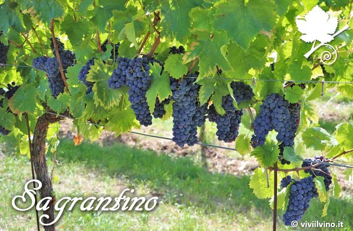 Sagrantino - grappoli