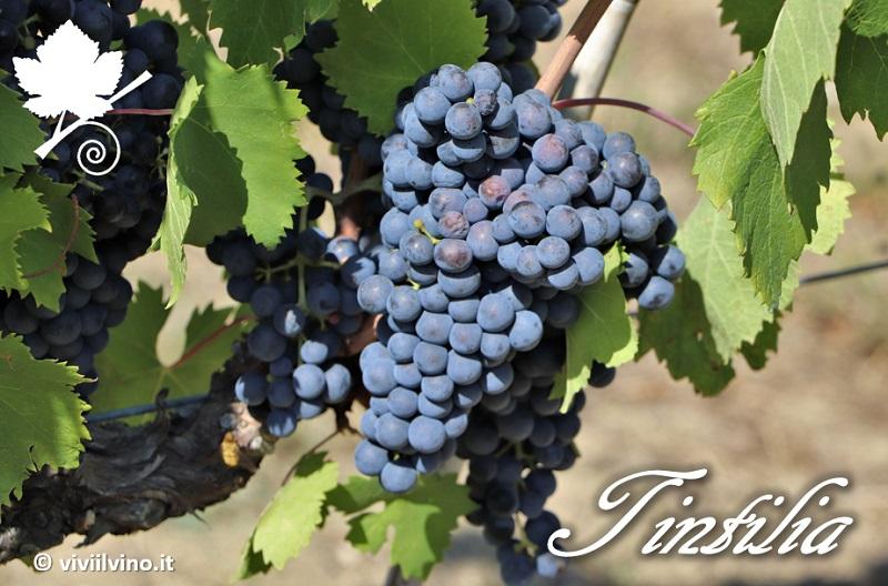 Tintilia - vitigno 2