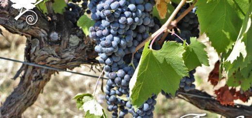 Tintilia - vitigno