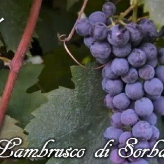 Lambrusco di Sorbara vitigno