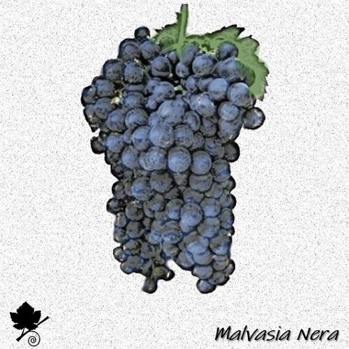 Malvasia nera - vitigno