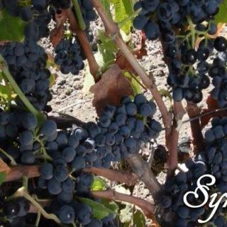Syrah (Shiraz) vitigno