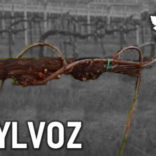 Allevare la vite a Sylvoz