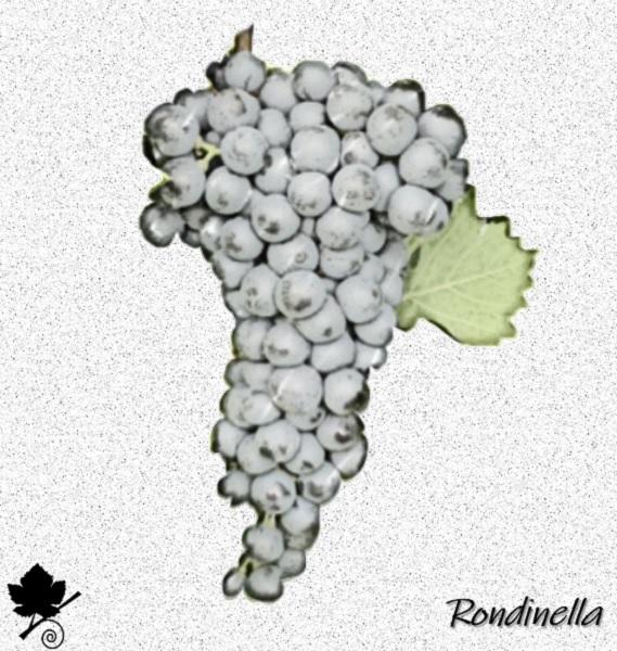 Rondinella - vitigno