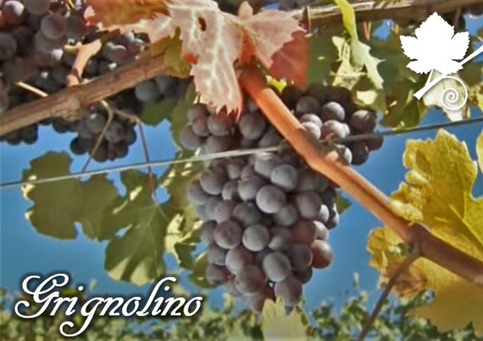 Grignolino vitigno