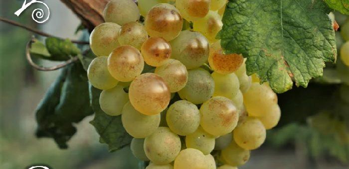 Pigato vitigno