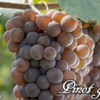 Pinot grigio - grappolo