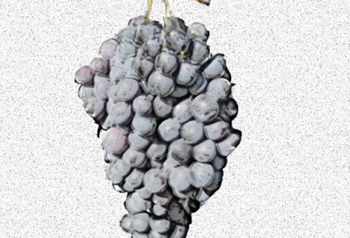 Schiava gentile - vitigno