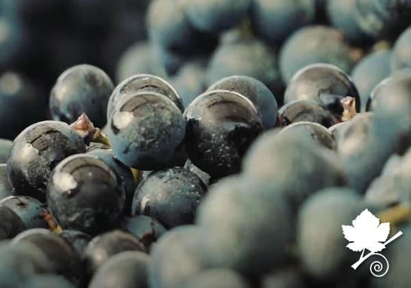 buccia dell'uva