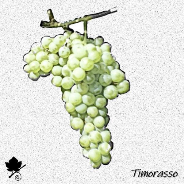 timorasso - vitigno