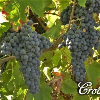 Croatina - vitigno