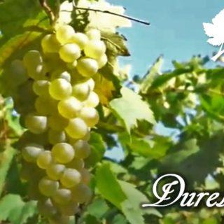 Durella - vitigno