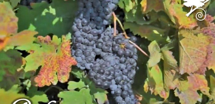 Raboso - vitigno