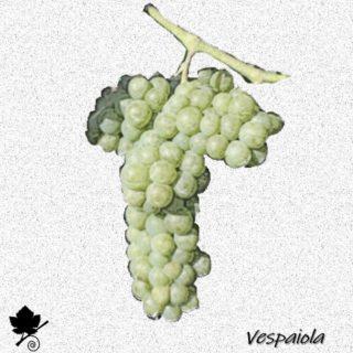 vespaiola - vitigno