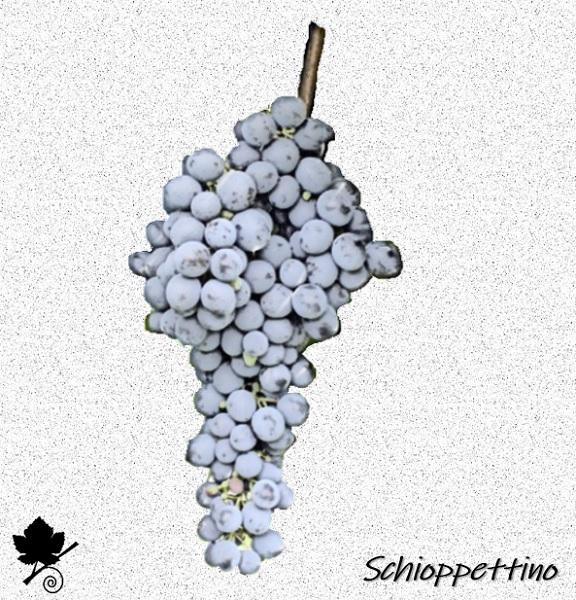 Schioppettino - vitigno