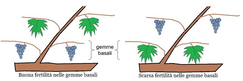 Buona e scarsa fertilità nelle gemme basali
