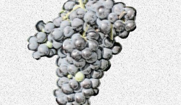 Corvinone - vitigno