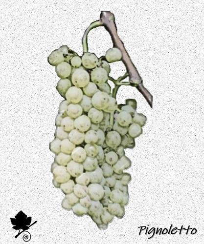 Pignoletto - vitigno
